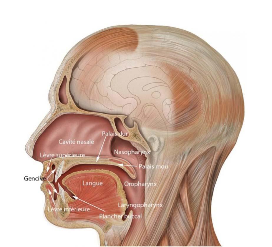 Les cancers de la cavit buccale b cco for Interieur bouche