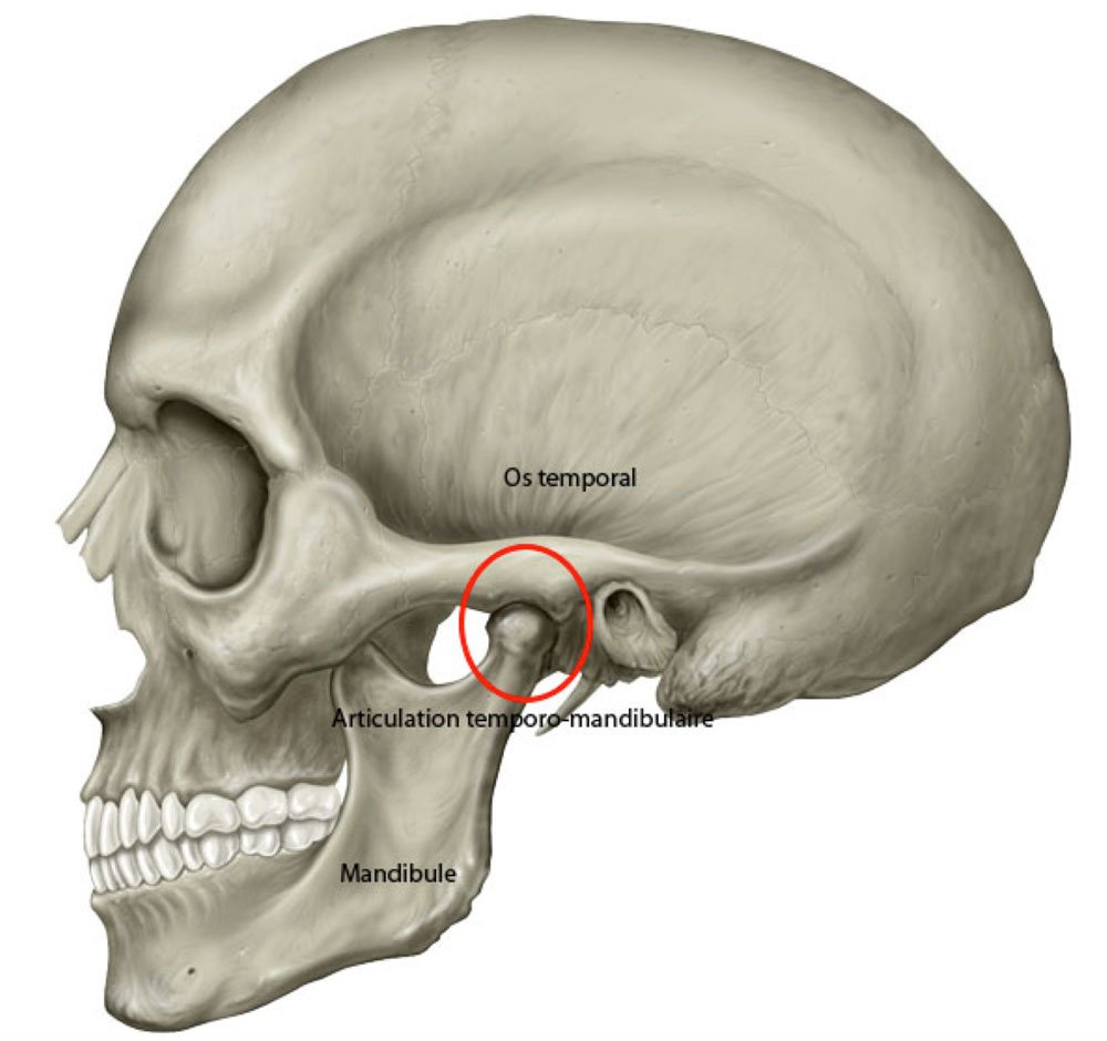 L'articulation temporo-mandibulaire (ATM) | Bücco